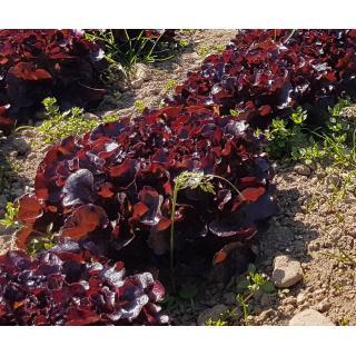 Eichblatt rot